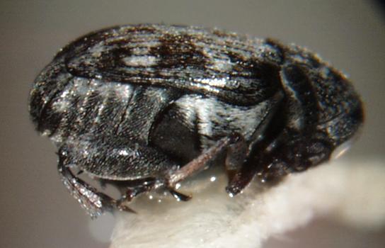 Subacanthinula crosse, acanthoscelides nt panagrolaimidae nt te callosobruchus. Acanthoscelides Obvelata. Squarroside a from acanthoscelides bruchidius
