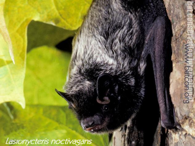 Family Vespertilionidae Vespertilionid Bats
