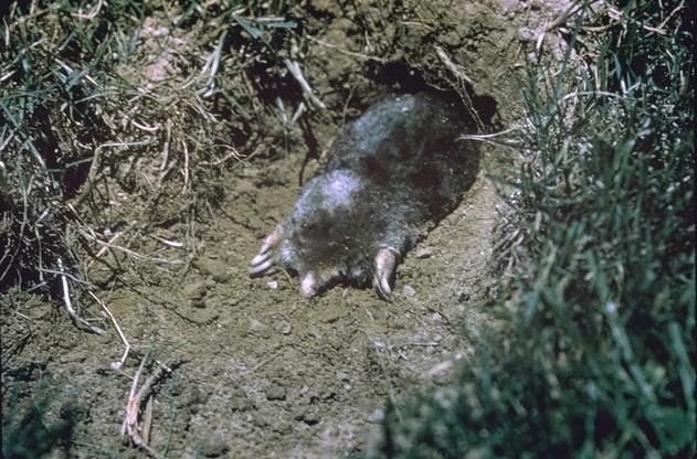 Family TALPIDAE: Moles