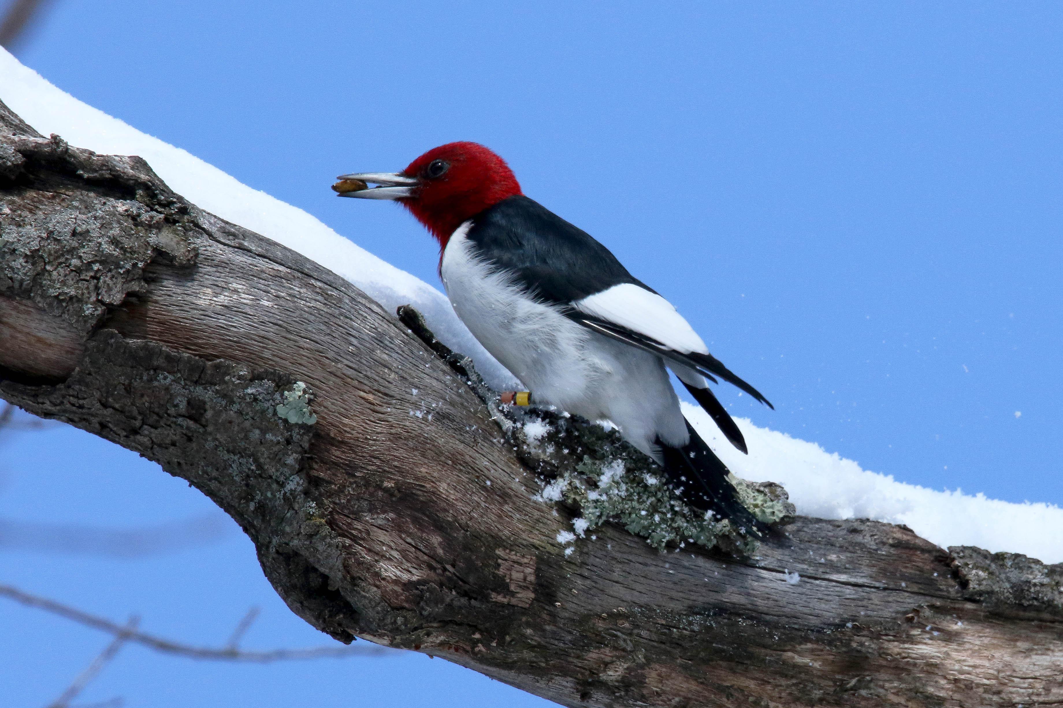 Red-headed woodpecker on snowy branch