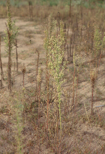 Conyza canadensis (Horseweed)