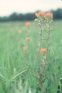 Castilleja coccinea (Indian Paintbrush)