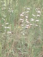 Penstemon gracilis (Small-flowered Beardtongue)