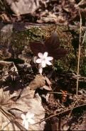 Hepatica acutiloba  (Sharp-lobed Liverleaf)