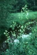 Thalictrum dasycarpum (Tall Meadow Rue)