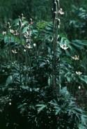 Anemone cylindrica (Thimbleweed)