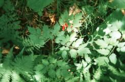 Actaea rubra (Red Baneberry)