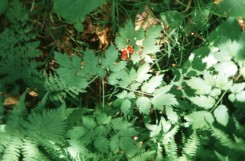 Actaea rubra (Red Baneberry)