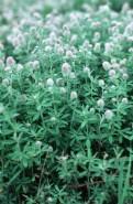 Trifolium arvense  (Rabbitfoot Clover)