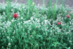 Trifolium pratens  (Red Clover)