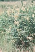 Astragalus canadensis (Canada Milkvetch)