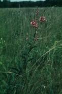 Desmodium canadensis (Tick Trefoil)