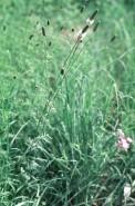 Petalostemum candidum (White Prairie Clover)