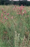 Petalostemum purpureum (Purple Prairie Clover)