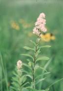 Spiraea alba (Meadow Sweet)