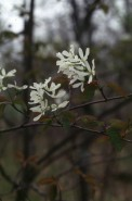 Amelanchier laevis (Smooth Juneberry)