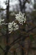 Amelanchier laevis (Smooth Juneberry)