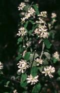 Amelanchier intermedia (Intermediate Juneberry)