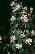 Amelanchier intermedia (Intermediate Juneberry)