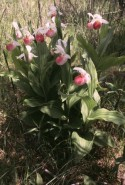 Cypripedium reginae  (Showy Ladyslipper)