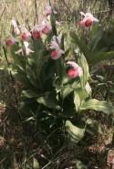 Cypripedium reginae  (Showy Ladyslipper)