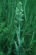 Platanthera lacera (Ragged Fringed Orchid)