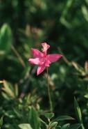 Calopogon tuberosus (Grass Pink Orchid)