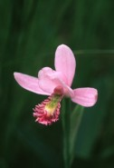 Pogonia ophioglossoides (Rose Pogonia)