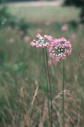 Allium stellatum (Prairie Onion)