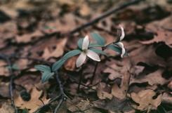 Trillium nivale  (Snow Trillium)