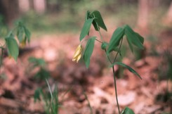 Uvularia grandiflora  (Large-flowered Bellflower)