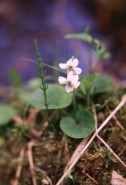 Viola macloskeyi  (Northern White Violet)