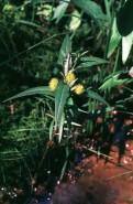 Lysimachia thyrsiflora (Tufted Loosestrife)