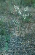 Polygonella articulata (Coast Jointweed)