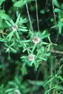 Polygala cruciata (Cross-leaved Milkwort)
