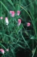 Polygala sanguinea (Purple Milkwort)