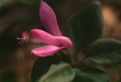 Polygala pauciflora  (GayWings)