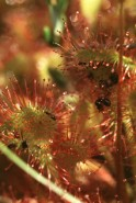 Drosera rotundifolia (Sundew)