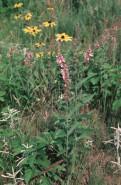 Stachys palustris (Hedge Nettle)