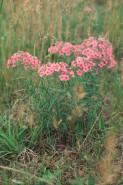 Phlox pilosa (Prairie Phlox)