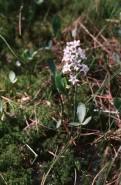 Menyanthes trifoliata (Buckbean)