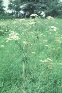Cicuta maculata (Water Hemlock)