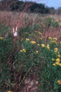 Euthamia graminifolia (Grass-leaved Goldenrod)