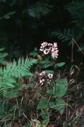 Aster macrophyllus  (Large-leaved Aster)
