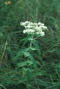 Eupatorium perfoliatum (Boneset)