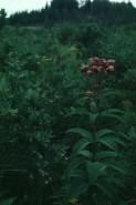 Eupatorium maculatum (Joe-Pye-Weed)