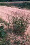Panicum virgatum (Switch Grass)