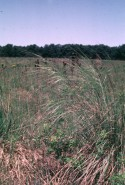 Stipa spartea (Porcupine Grass)