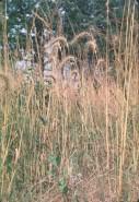 Elymus canadensis (Nodding Wild Rye)