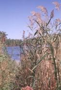 Phragmites australis  (Tall Reed Grass), Carex xx  (xx Sedge)
